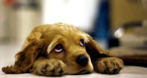 sindrome di Horner nel cane