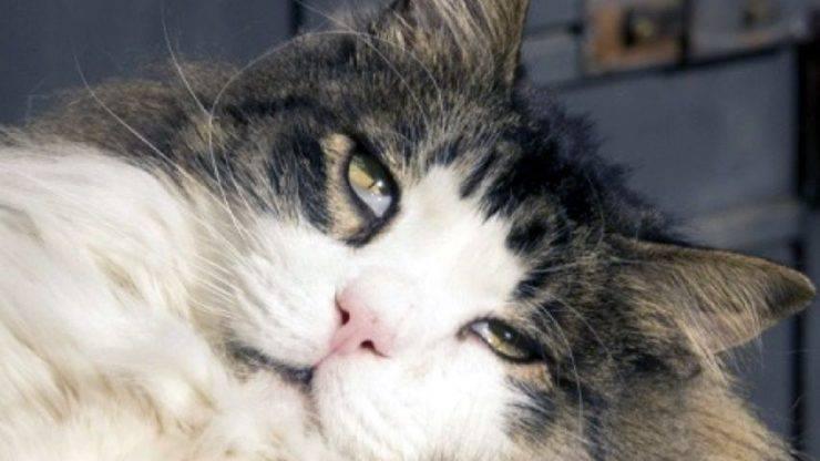 sindrome di Horner nel gatto