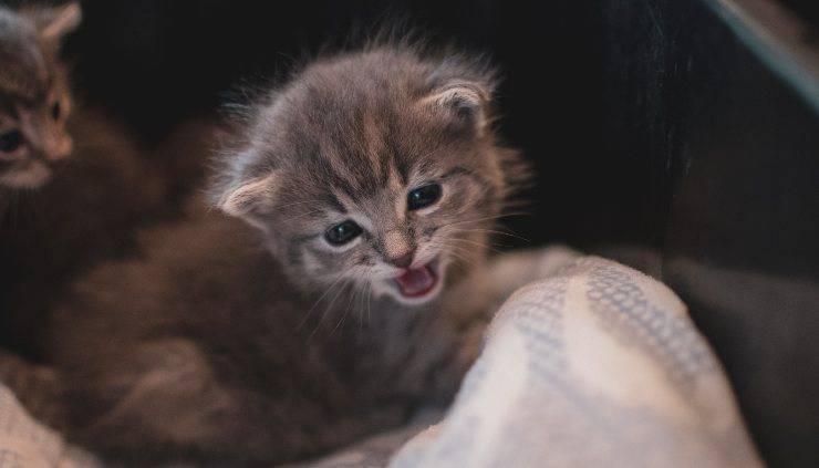 sintomi ipertiroidismo nel gatto