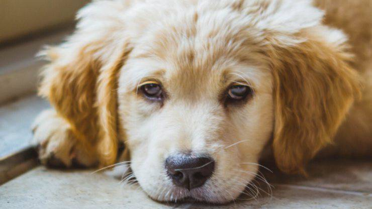 sinusite nel cane