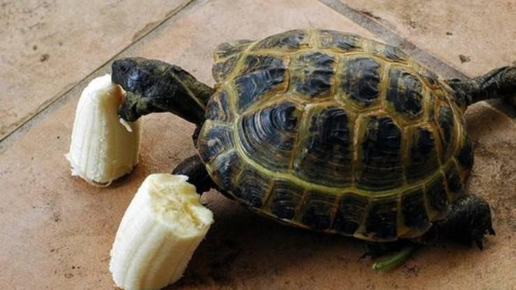 tartaruga mangia frutto
