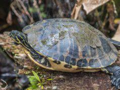 Perché la tartaruga fa le feci bianche