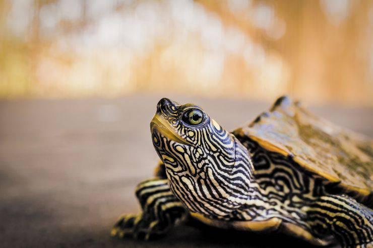 Cosa fare mangiare alla tartaruga d'acqua dolce