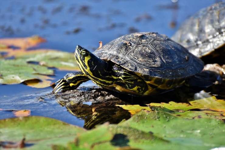 La tartaruga non vuole stare al sole