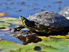 La tartaruga rifiuta il sole
