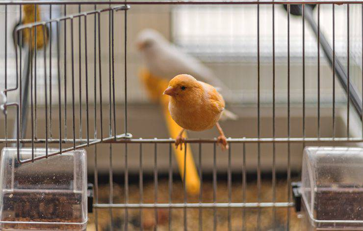 uccellini in gabbia
