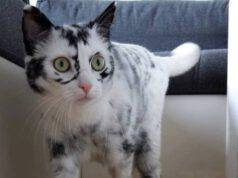 vitiligine gatto
