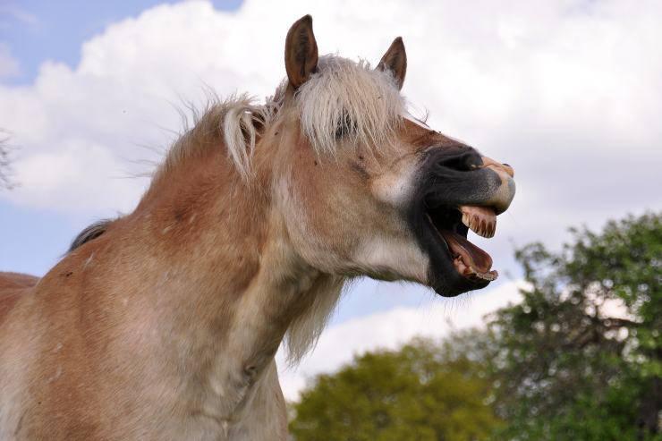 Cura dei denti del cavallo