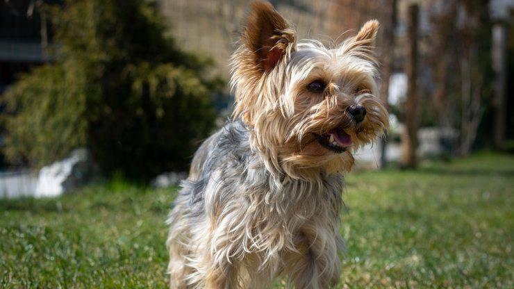 cane yorkshire terrier alimentazione dieta mangiare