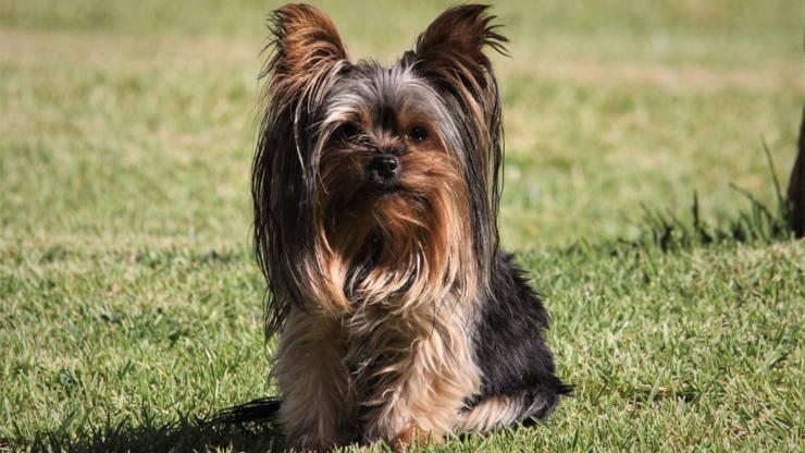 cura pelo cane yorkshire terrier toelettatura bagnetto