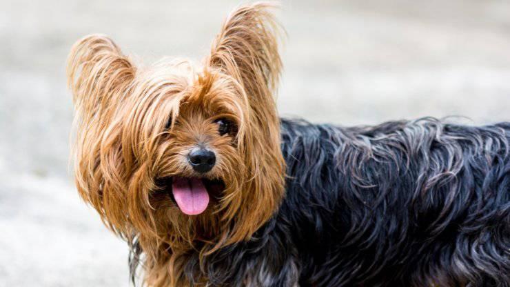 yorkshire terrier cane curiosità storia origini