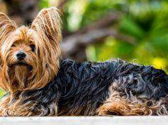 adottare yorkshire terrier cane