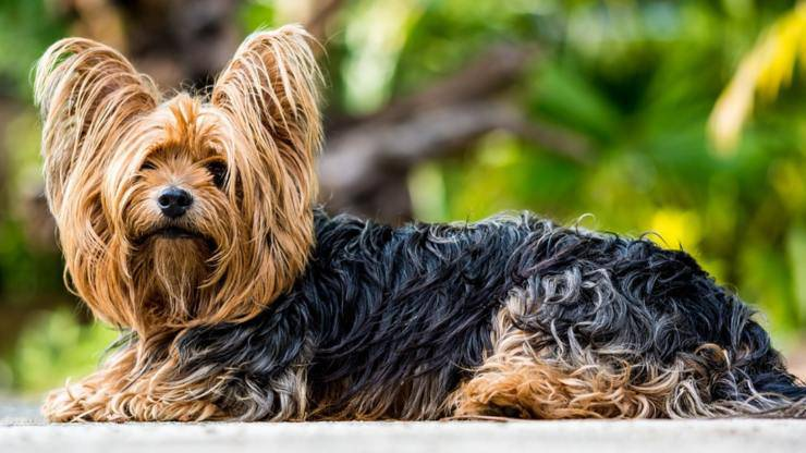 adottare yorkshire terrier cane