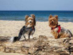 razze cani compatibili yorkshire terrier