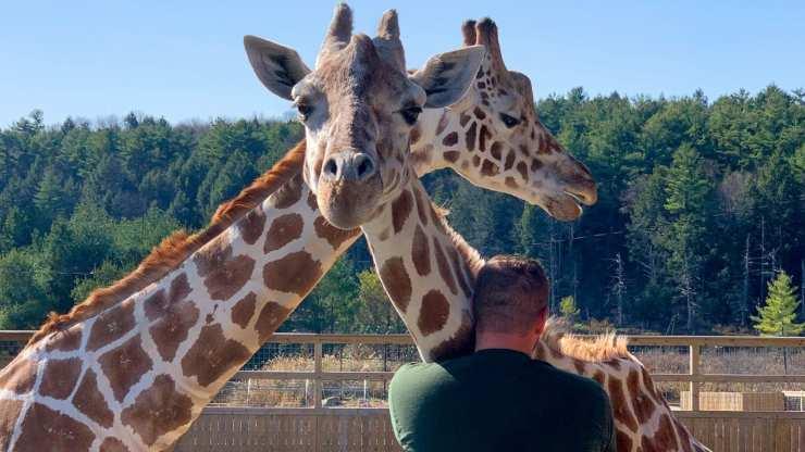 Giraffe nello zoo (Foto Facebook)
