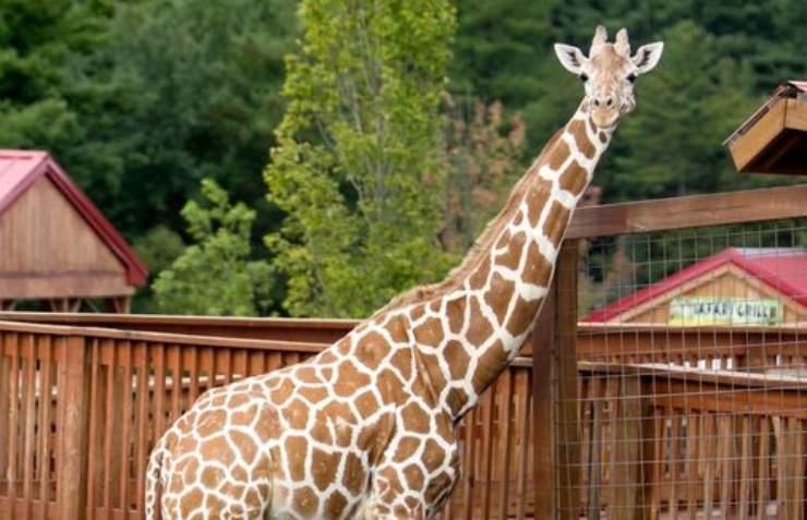 Giraffa in primo piano (Foto Facebook)