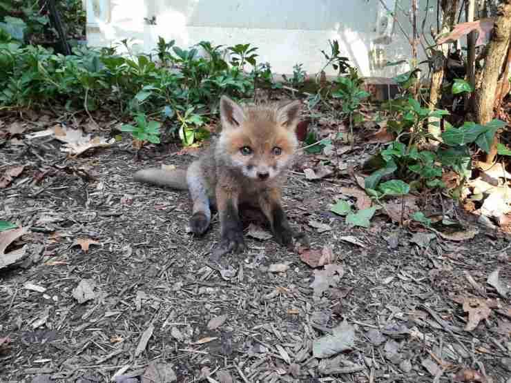 trova cucciolo volpe piange giardino