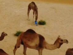 Il cammello mangia la plastica (Foto video)