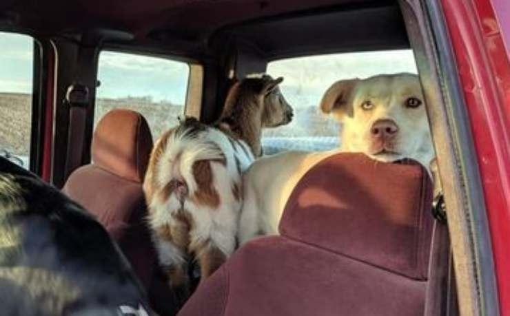 La capretta e il cane in auto (Foto Facebook)