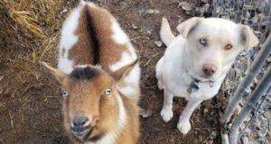 la capretta e il cane (Foto Facebook)