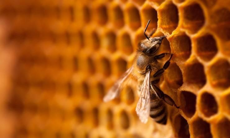 api lavoro miele