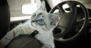 Divieto di cintura di sicurezza per il gatto