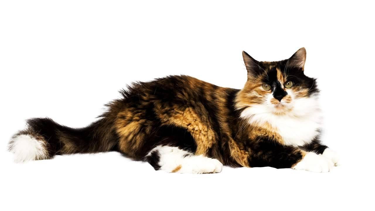 La sindrome di Klinefelter nei gatti