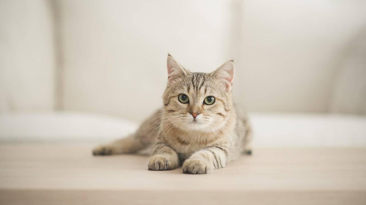 Shunt portosistemico nel gatto