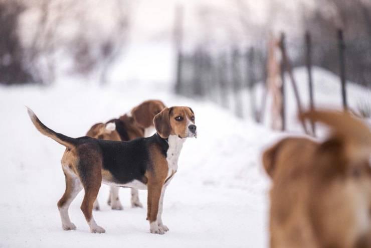 Adottare un Beagle Harrier