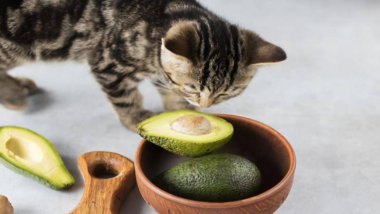 Cibi tossici per il gatto
