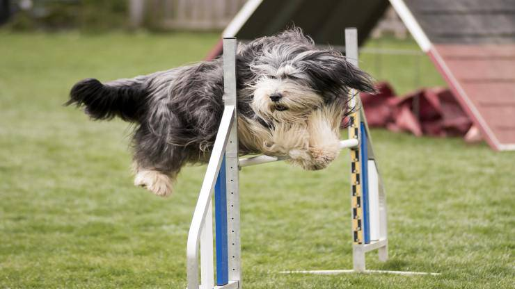 Razze compatibili col Bearded Collie