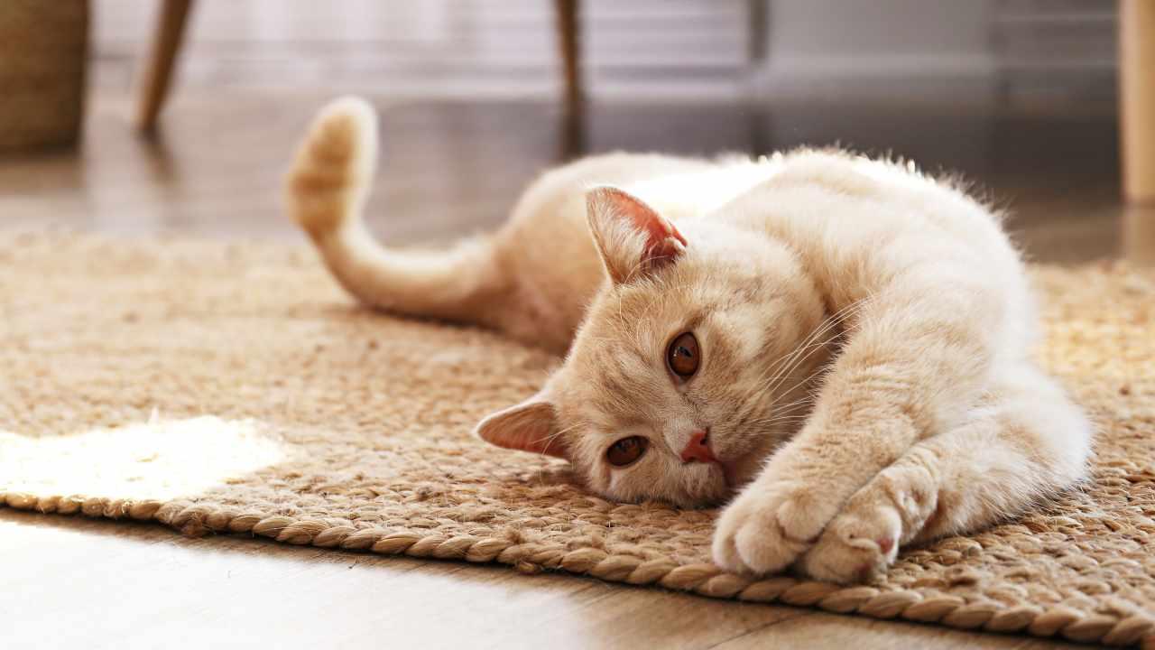 I diritti del gatto