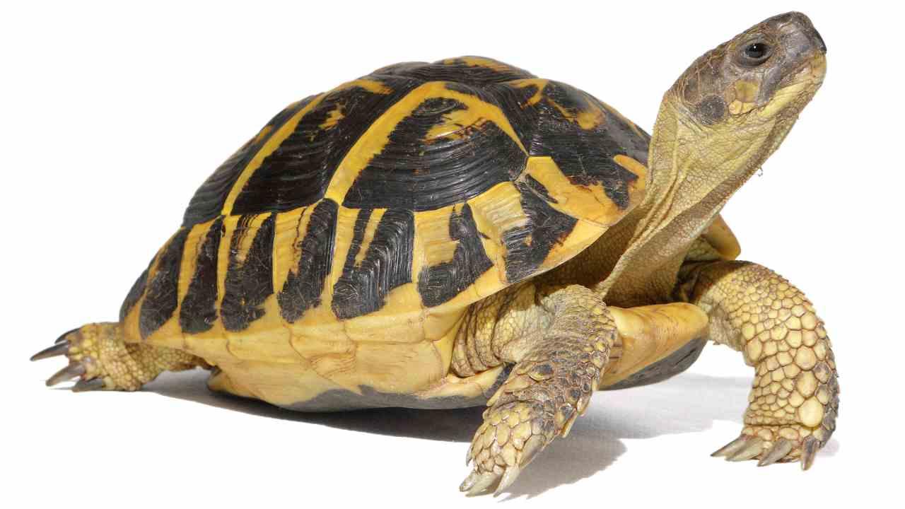 Il documento CITES è obbligatorio per le tartarughe di terra?