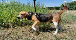 Malattie più comuni del Beagle Harrier