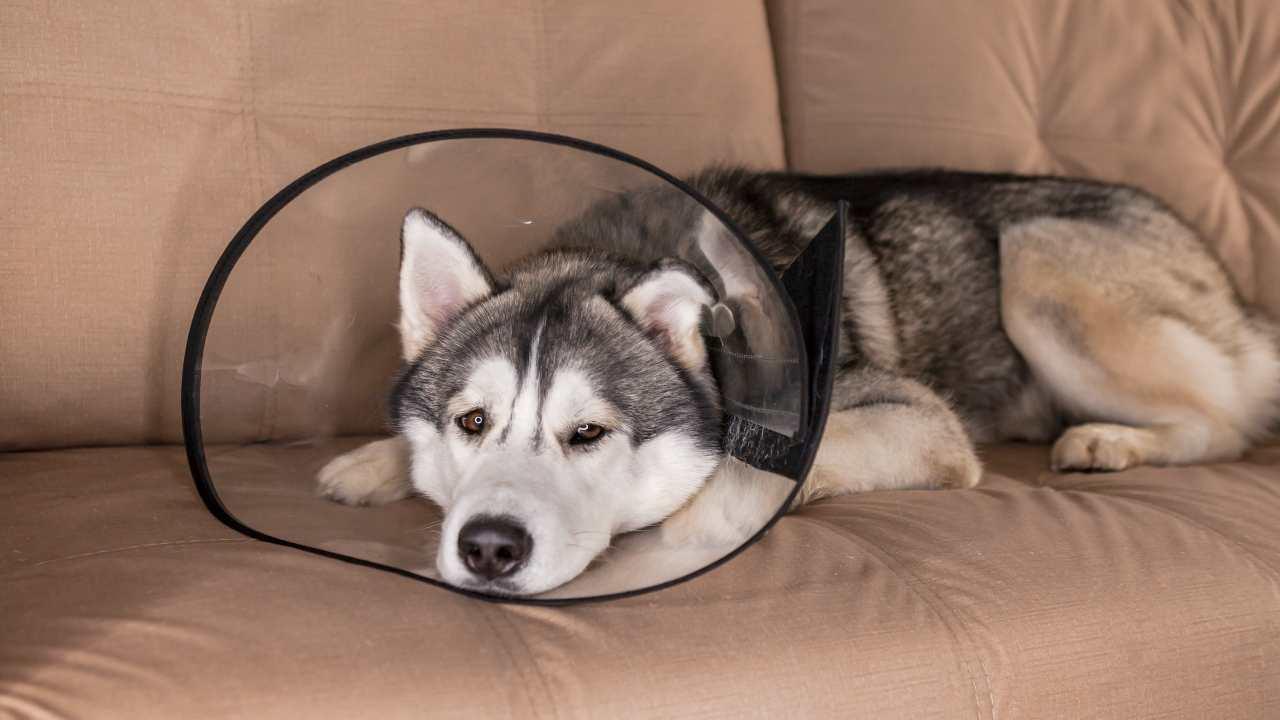 Collare elisabettiano fai da te per il cane