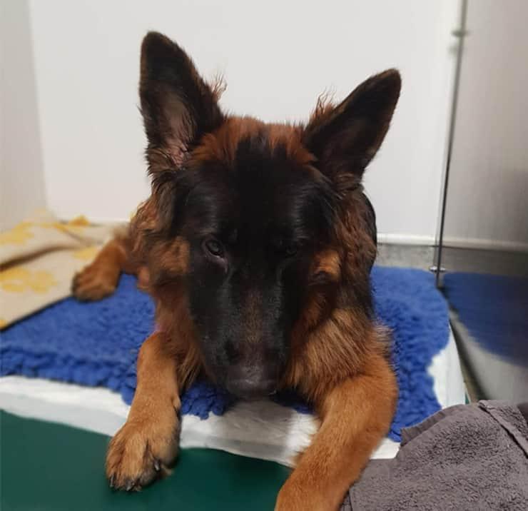 Bear il cane che ha ingerito il bastoncino appuntito di uno spiedino