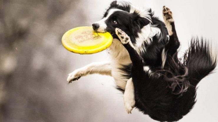 Come insegnare al cane a giocare con il frisbee