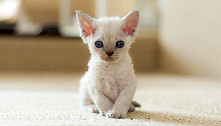 Devon Rex tra le razze di gatti fedeli