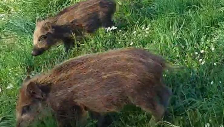 Cuccioli Cinghiali Parco Torino Video