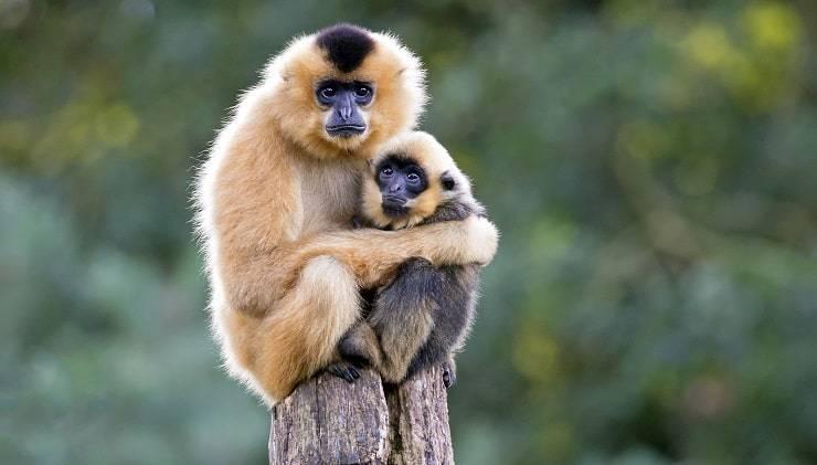 scimmia gibbone