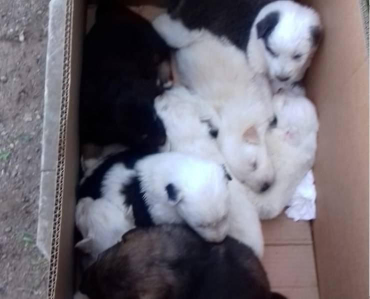 Dieci Cuccioli Cane Scatolone