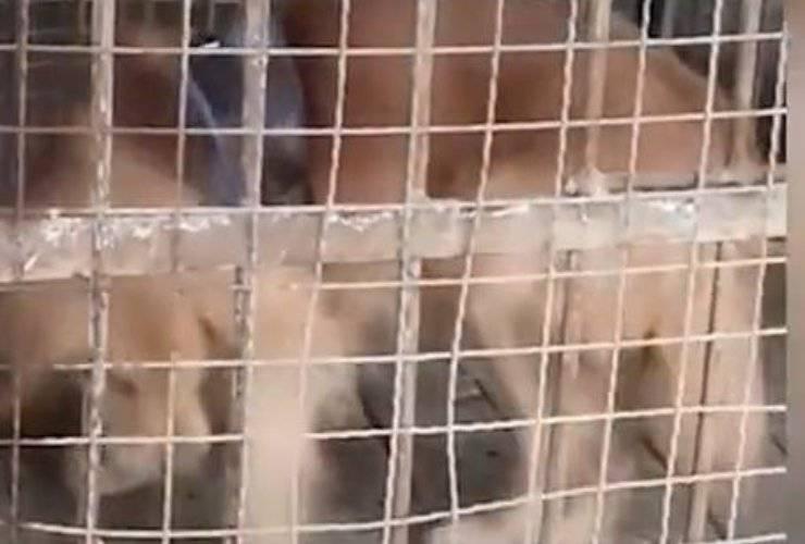 Cane Golden Retriever Gabbia Zoo
