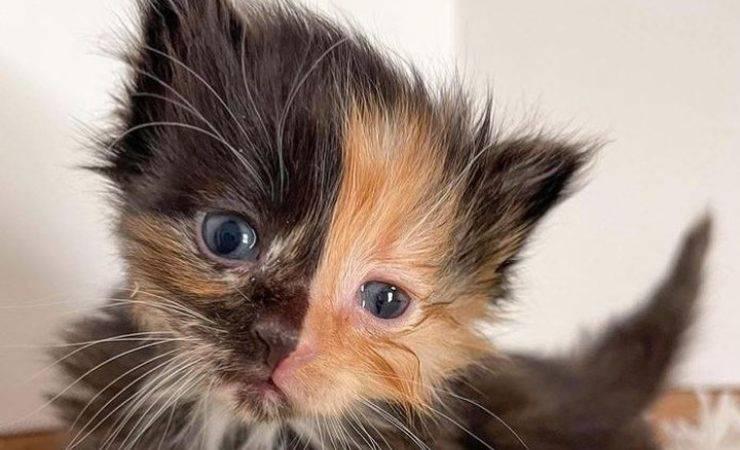 Gatto Apricot Chimera Video