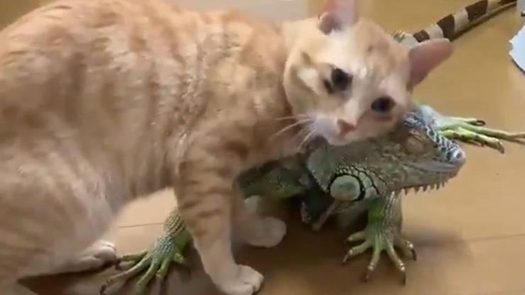 Gatto Iguana Amicizia Video