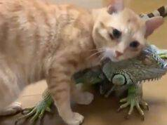 Gatto Iguana Amicizia Video