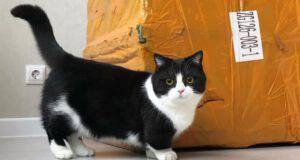Il gatto con le zampe più corte al mondo