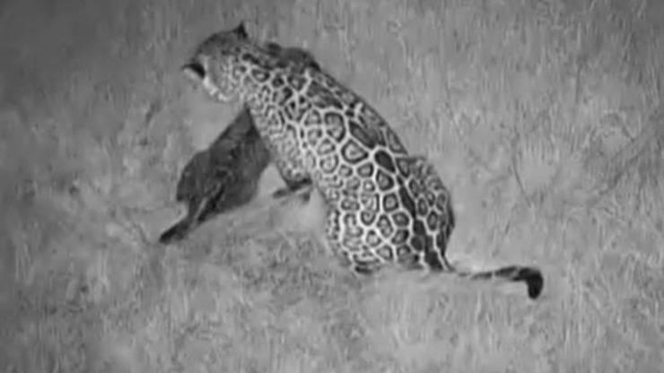 Mamma Giaguaro Cucciolo Video
