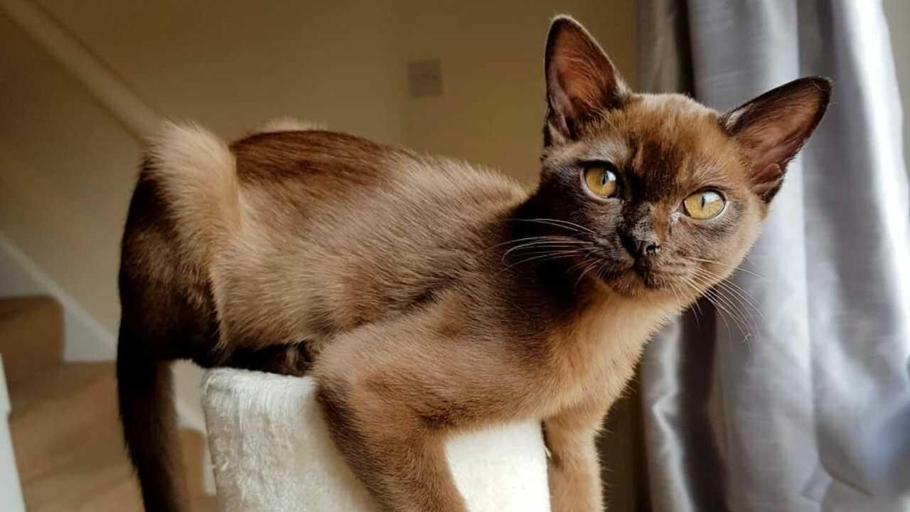 adottare gatto burmese
