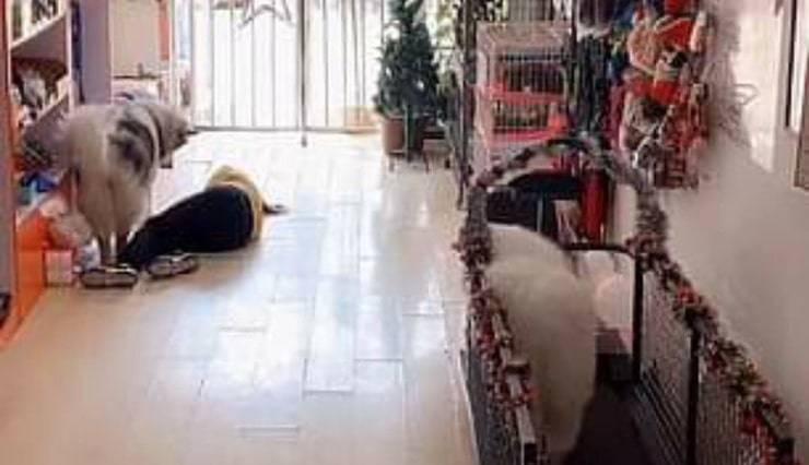 Il cane Alaska cerca di svegliare la commessa del negozio svenuta ( screen video)
