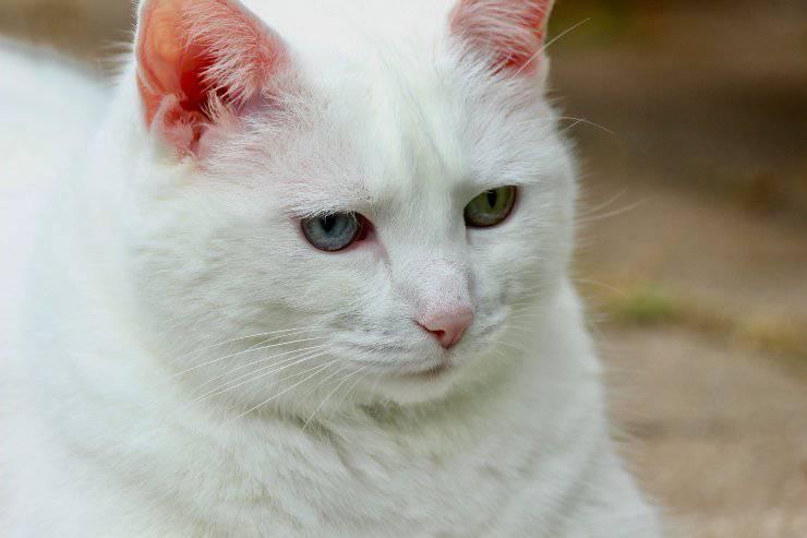 Razze di felini con il viso tondo